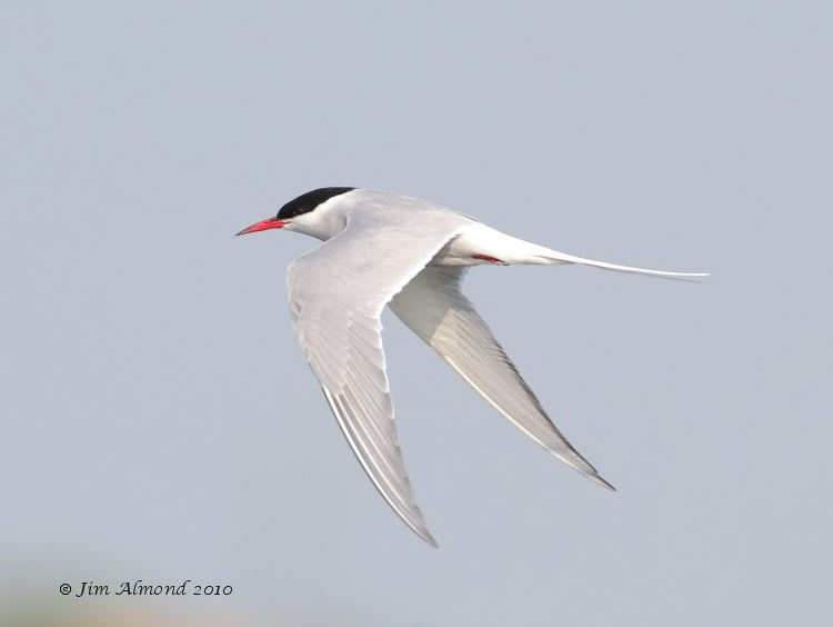 Arctic Tern flight Cemlyn Bay 22 5 10 IMG_0321