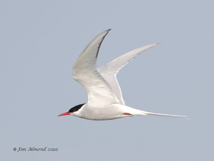 Arctic Tern flight Cemlyn Bay 22 5 10 IMG_0324