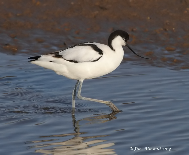 Avocet feeding droplets Titchwell 2 3 13  IMG_5002