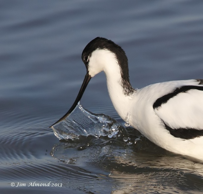 Avocet feeding droplets Titchwell 2 3 13 IMG_4962