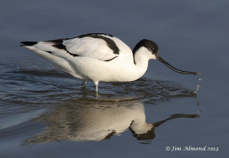 Avocet feeding droplets Titchwell 2 3 13 IMG_5031