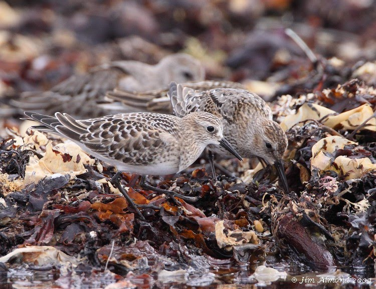 Bairds Sandpiper and Dunlin Marazion 17 9 09 IMG_4029 1