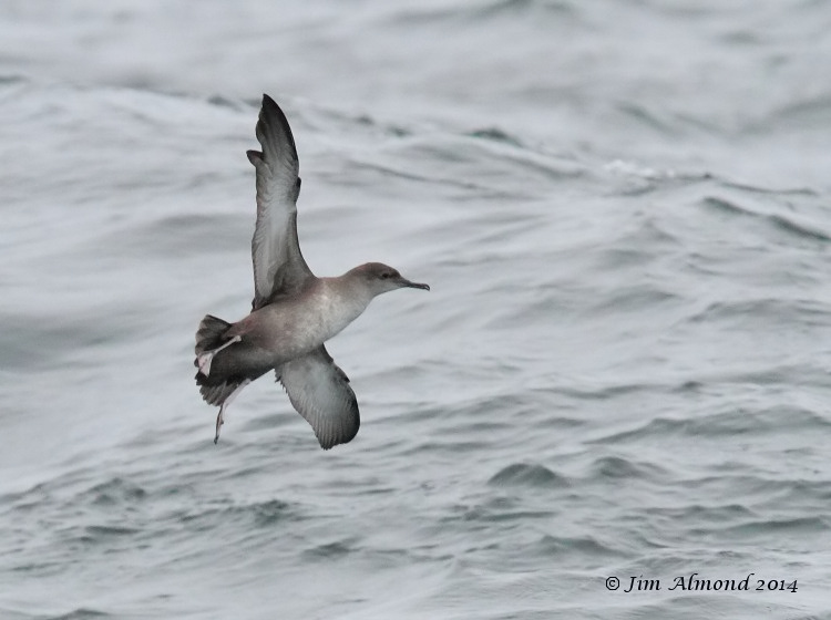 Balearic Shearwater underwing St Marys at sea 9 8 14 IMG_2741