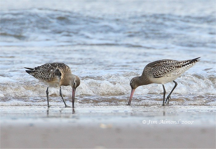 Bar tailed Godwits beach Titchwell 14 9 07 IMG_7223