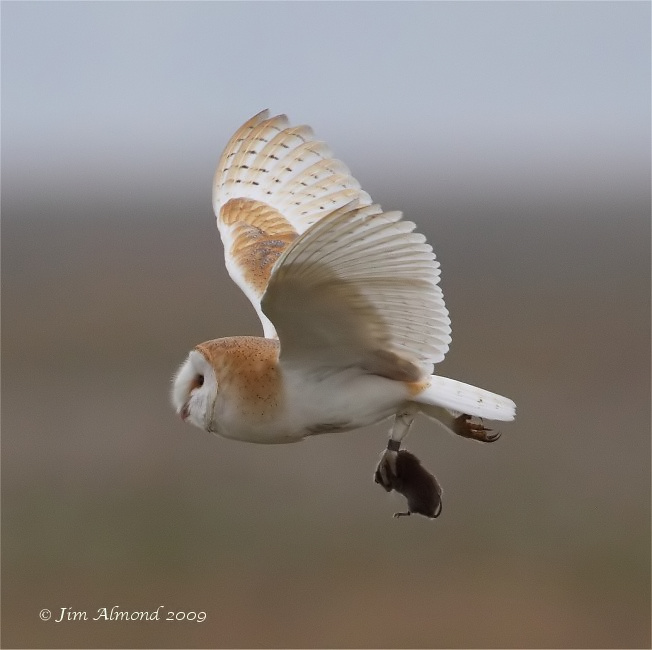 Barn Owl with Vole Parkgate 17 10 09 IMG_5873