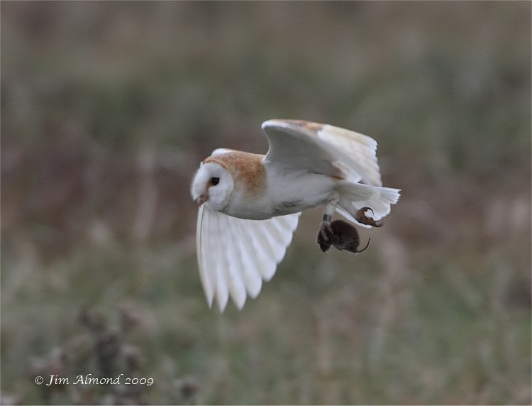 Barn Owl with Vole Parkgate 17 10 09 IMG_5862