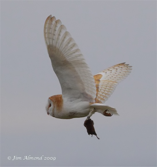 Barn Owl with Vole Parkgate 17 10 09 IMG_5880
