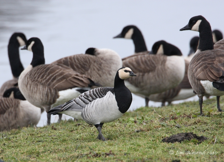 Barnacle Goose Polemere 8 12 08 IMG_7445