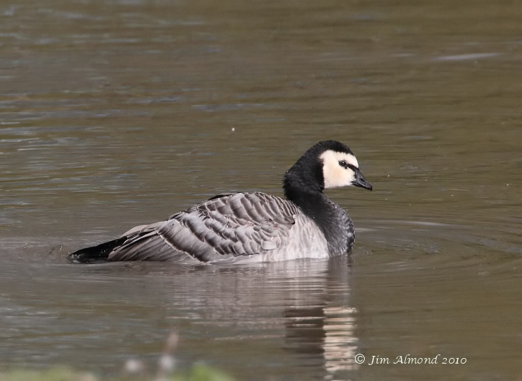 Barnacle Goose on water  Polemere 21 10 10 IMG_3624