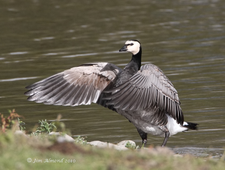 Barnacle Goose wingflap Polemere 21 10 10 IMG_3637