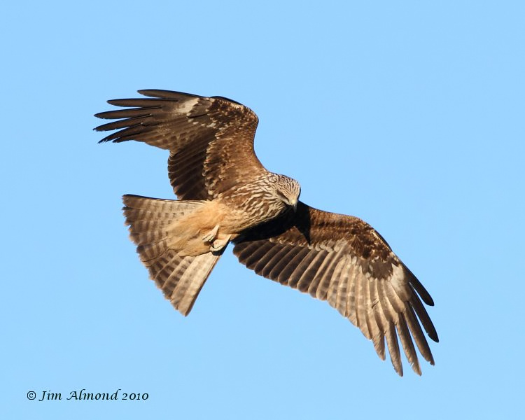 Black Kite Gigrin 11 2 10  IMG_5638