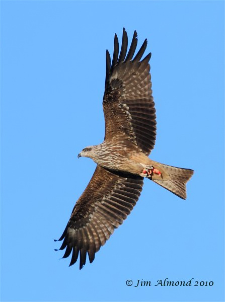 Black Kite Gigrin 11 2 10  IMG_5672
