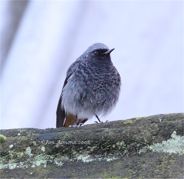 Black Redstart Hereford 17 12 08 IMG_9334