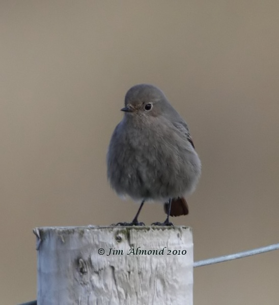 Black Redstart Kinmel Bay 21 2 10 IMG_6121