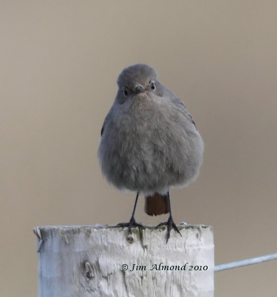 Black Redstart Kinmel Bay 21 2 10 IMG_6123_filtered