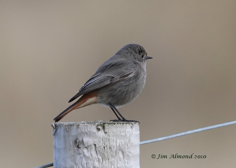 Black Redstart Kinmel Bay 21 2 10 IMG_6125
