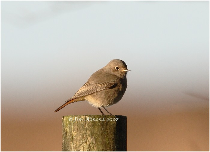 Black Redstart female Pole Cott 4 11 07  IMG_1235