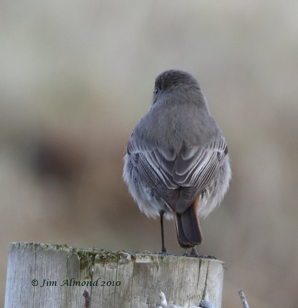 Black Redstart rear Kinmel Bay 21 2 10  IMG_6126
