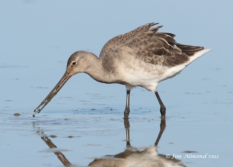 Black tailed Godwit  dribbling mud  Cley 27 9 11 IMG_2028