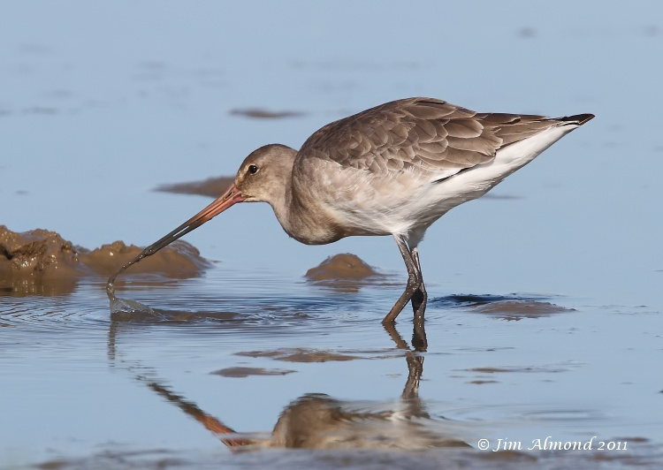 Black tailed Godwit  dribbling mud  Cley 27 9 11 IMG_2095