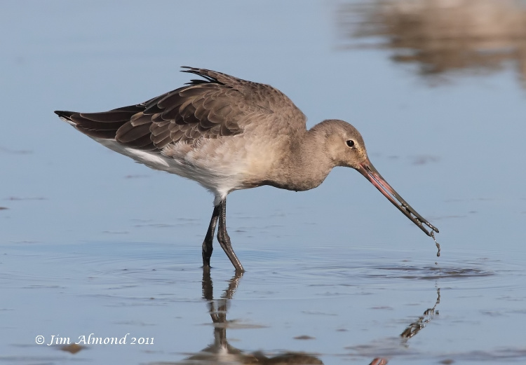 Black tailed Godwit  dribbling mud  Cley 27 9 11IMG_2017