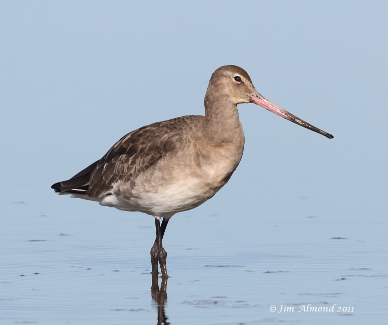 Black tailed Godwit  pose Cley 27 9 11  IMG_2107