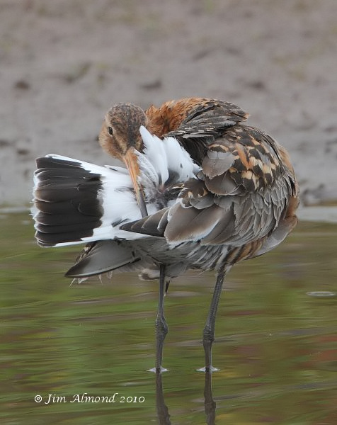 Black tailed Godwit preening VP 20 7 10 IMG_0774