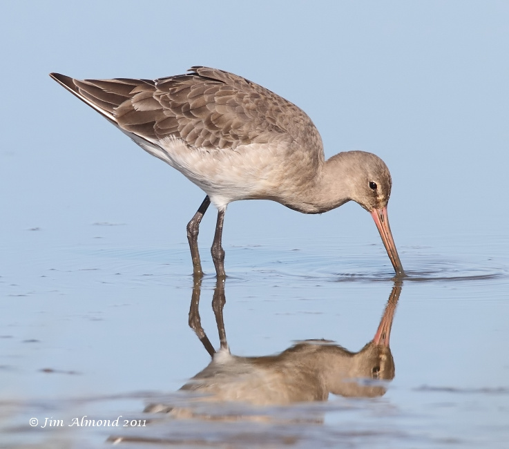 Black tailed Godwit  reflection  Cley 27 9 11  IMG_2089