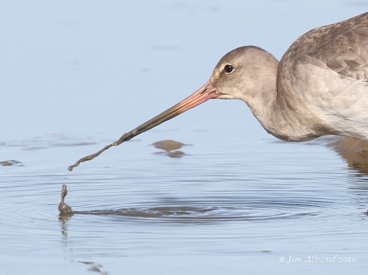 Black tailed Godwit expelling mud vcu  Cley 27 9 11 Img_2104
