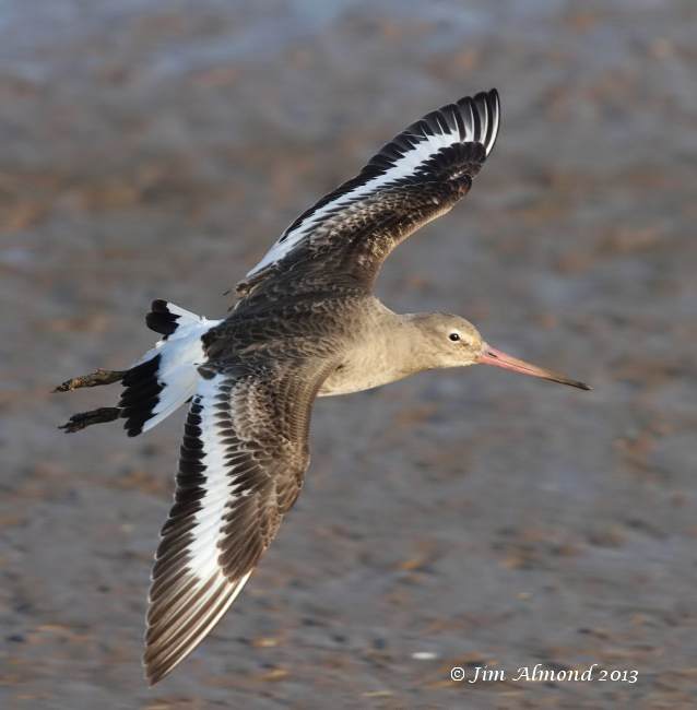 Black tailed Godwit flight Titchwell 2 3 13  IMG_5281