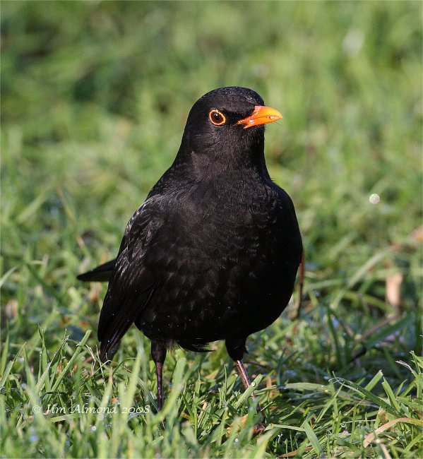 Blackbird male portrait 2 1 09 IMG_0424