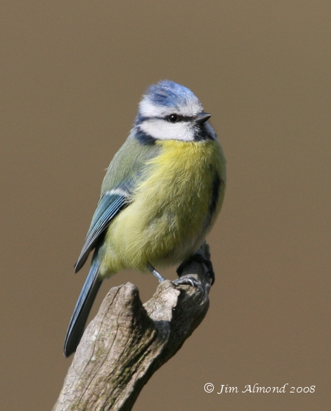 Blue Tit Linley 8 4 07 IMG_2557