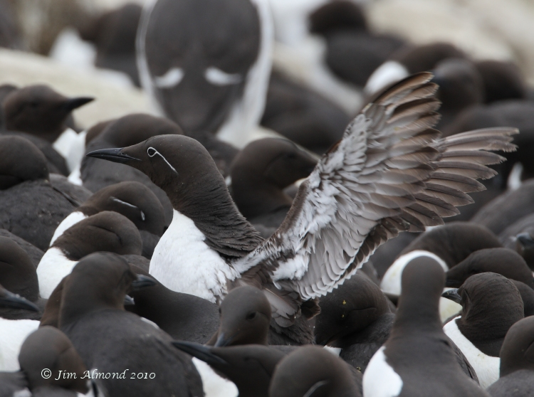 Bridled Guillemot in colony Farnes 17 5 08  IMG_8441 1