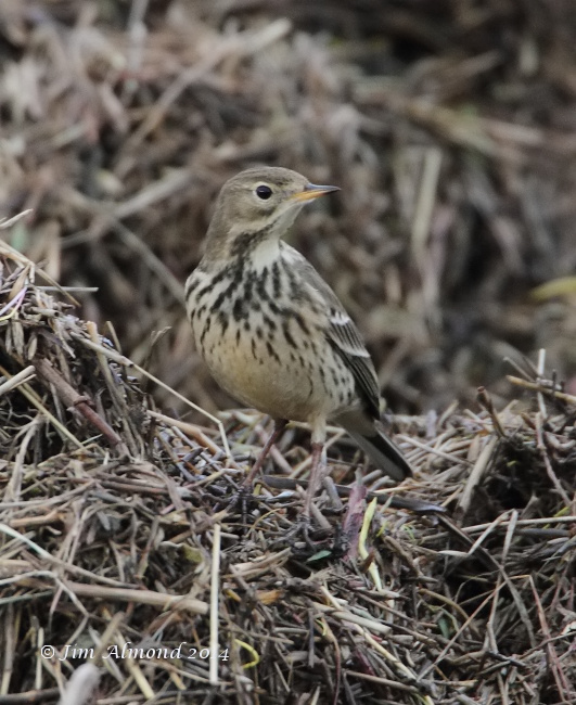 Buff bellied Pipit Burton Marsh 12 1 14  IMG_0576