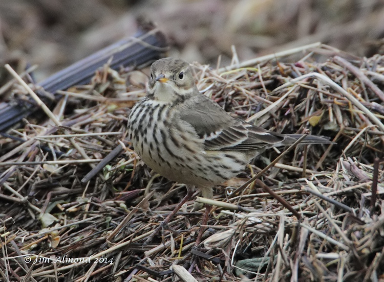 Buff bellied Pipit head on Burton Marsh 12 1 14  MG_0857