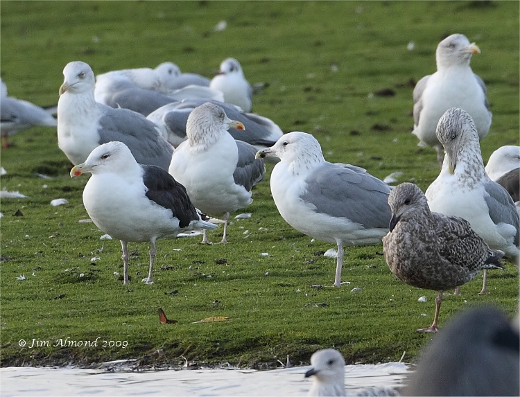 Caspian Gull 3rd winter with other Gulls Stubbers Green 29 11 09  IMG_0613