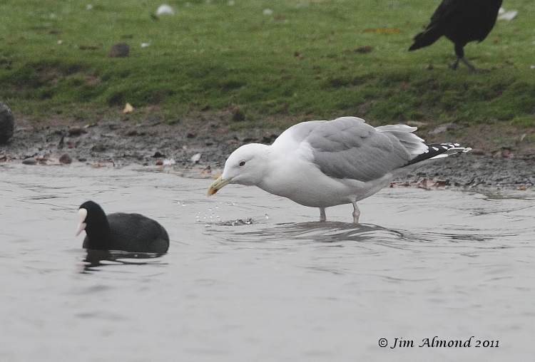 Caspian Gull adult winter drinking with Coot  Stubbers Green 19 11 11 IMG_9180
