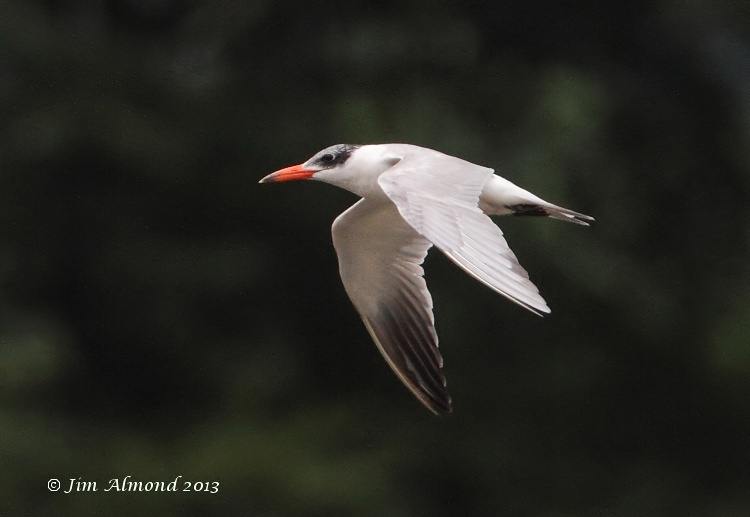 Caspian Tern flight  Rudyard Res 28 7 13  IMG_0216