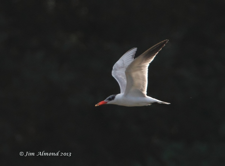 Caspian Tern flight into light Rudyard Res 26 7 13 IMG_7784