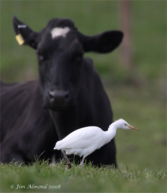 Cattle Egret Hants 26 3 08 IMG_8705
