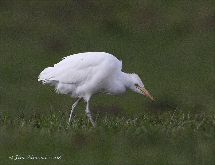 Cattle Egret Hants 26 3 08 IMG_8709