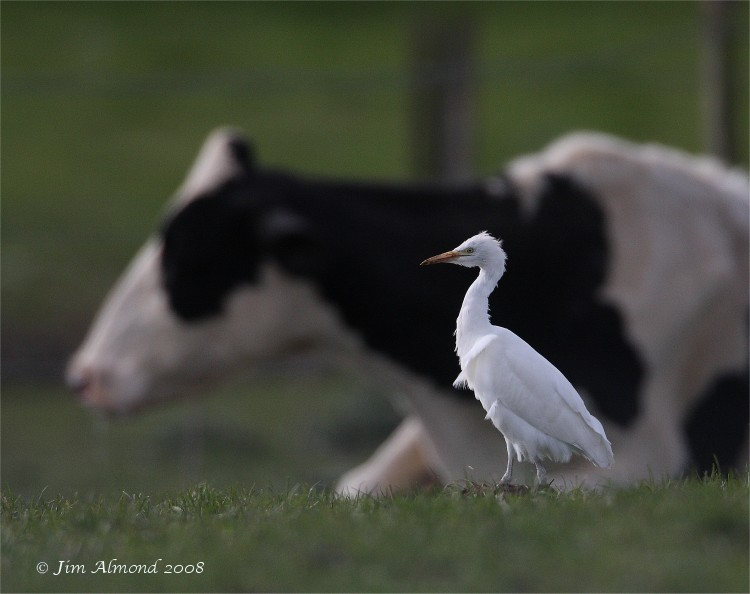 Cattle Egret Hants 26 3 08 IMG_8724