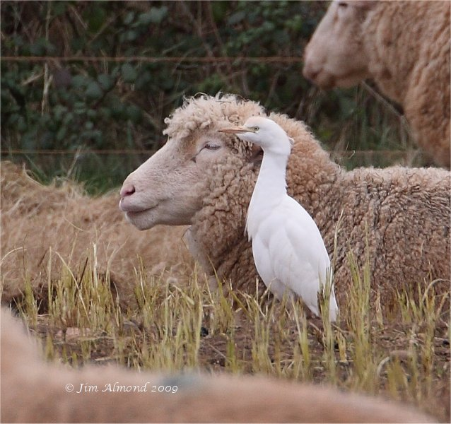 Cattle Egret Podwerham 28 2 09 MG_2169