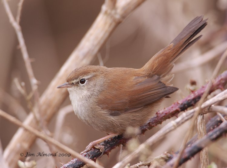 Cettis Warbler Exminster Marshes 20 3 09 IMG_8579