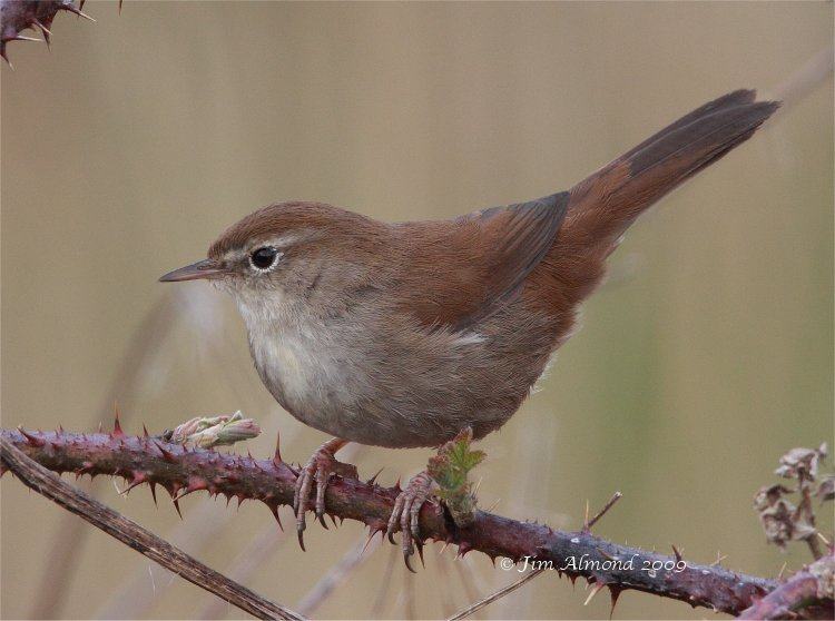 Cettis Warbler Exminster Marshes 20 3 09 IMG_8676
