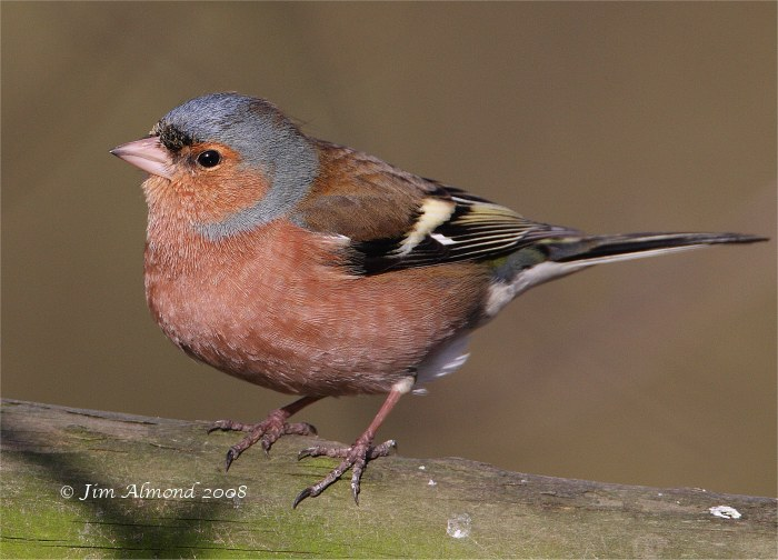 Chaffinch male VP 1 2 08 IMG_0451
