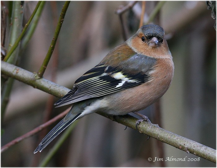 Chaffinch male VP 15 1 08 IMG_7535
