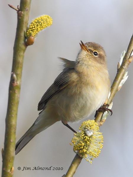 Chiffchaff on Willow VP 4 4 10 IMG_0981
