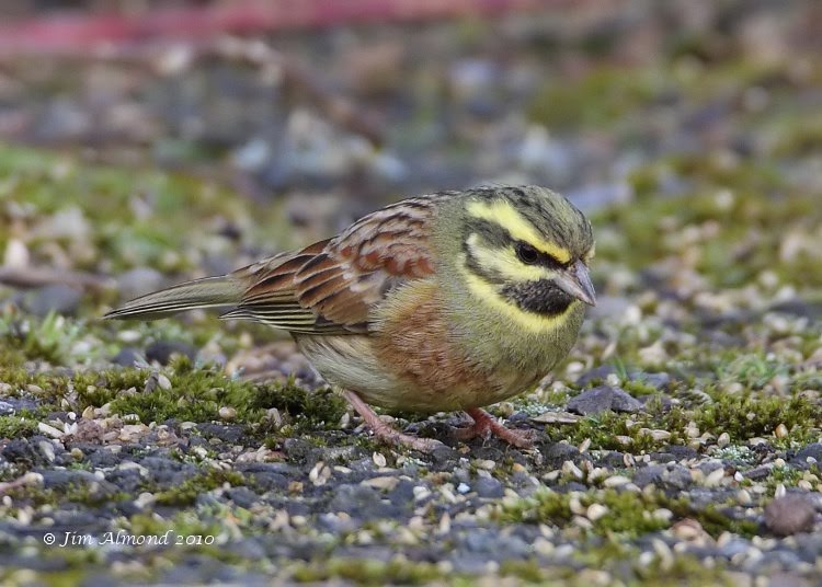 Cirl Bunting Broadsands Bay 26 3 10  MG_9767