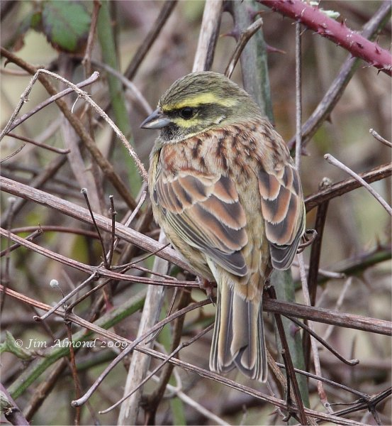 Cirl Bunting male Broadsands 28 2 09  IMG_2000